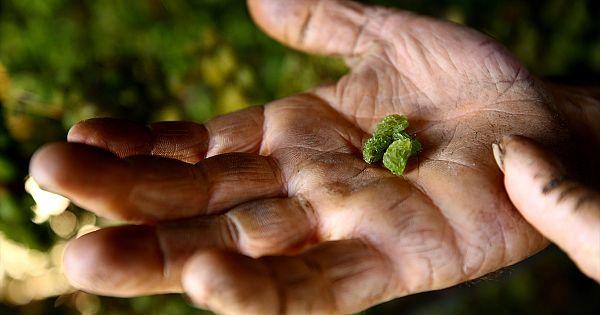 Toroslar'da yetişiyor, rengi ve tadıyla yiyenleri büyülüyor