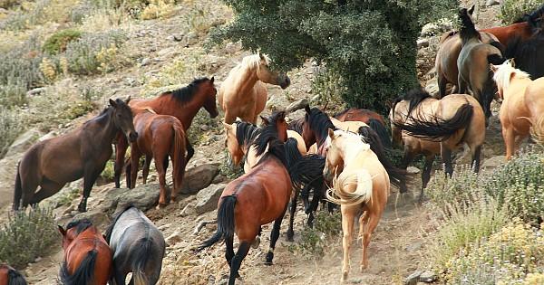Karadağ'da yılkı atları